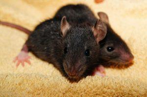 Eliminer les rats dans la maison
